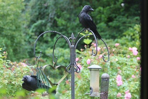 Adult and juvenile Jackdaw.
