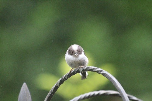 If it wasn't for it's long tail, it would just be a tiny ball of fluffy feathers!