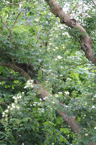 Wedding Day has climbed almost to the top of the tree, a good 50+ feet.