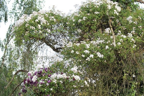 The clematis Belle Etoille is in the bottom left hand corner, the rest of the tree is covered in rose flowers.