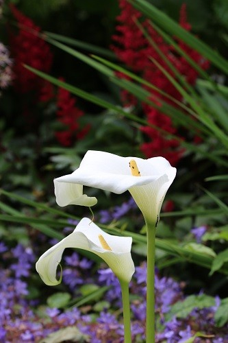 Zantedeschia beside the alpine scree, the rain water all soaks down to where I have planted this.