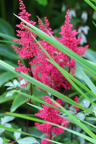 A lovely red astilbe, also beside the scree, enjoying the rain water which gathers here.