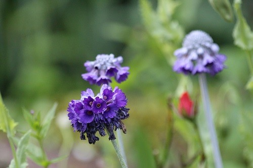 A lovely little primula on the alpine scree, this one doesn't like the soil that most of my other primulas grow in.