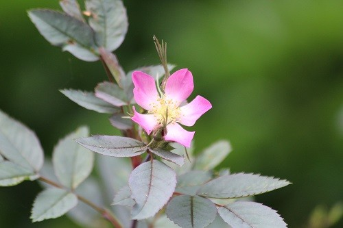 I love Rosa glauca in the corner of the back garden, such a simple little flower with the most beautiful foliage.