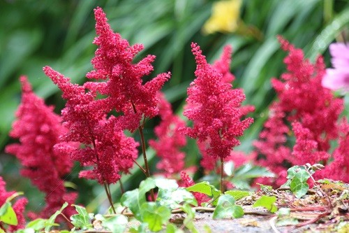More red astilbe looking happy by the scree.