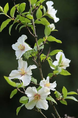 Philadelphus Belle Etoille perfuming the air all around it-heavenly.