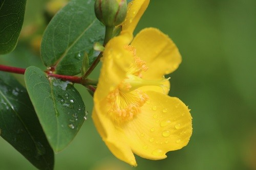 Hypericum Hidcote which has formed a really large bush and will need cutting back soon.