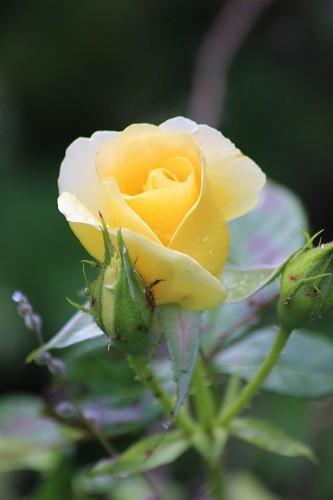 St. Rita's rose looking beautiful in the sunset border.