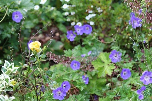 .......surrounded by Geranium Rozanne.