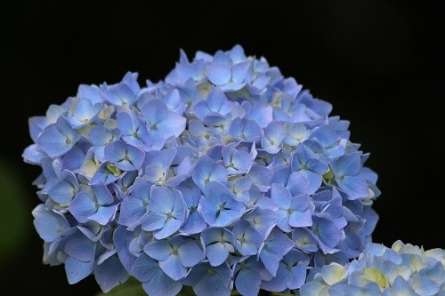 All the Hydrangeas have started flowering and will carry on for months.
