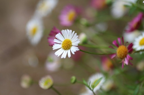 Little Erigeron karvinskianus still flowering madly at the foot of the dining room wall.