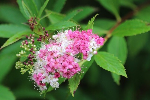Spirea but I have forgotten it's name! This is the bush where the little birds hide from the sparrowhawk when it comes visiting!