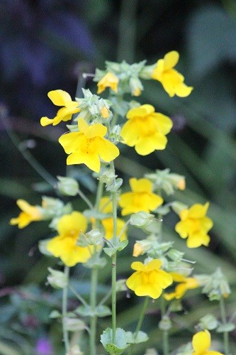 Mimulus has gone mad round the pond, it is everywhere!