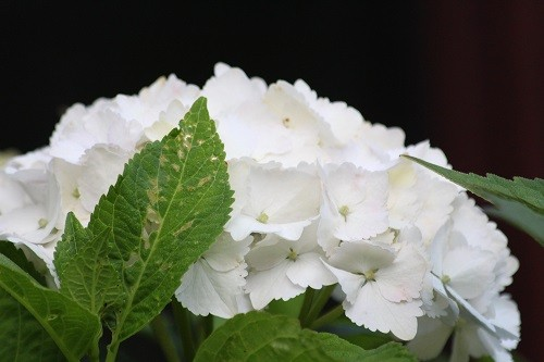 The white hydrangea under the kitchen window will now be flowering until the frost.