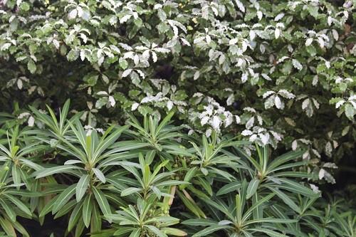 Still in the gravel area is Euphorbia mellifera next to Pittosporum Irene Patteson.