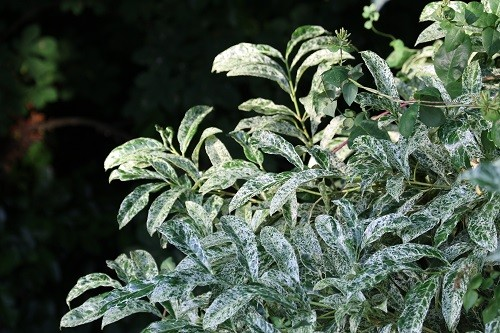 ....and next to them is a variegated laurel.