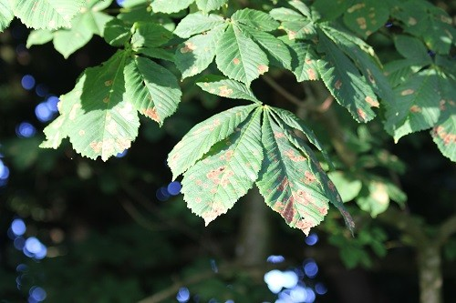 All the Horse chestnut trees that we have are showing once again that they have been infested by the larvae of the moth that is attacking them all. It doesn't seem to damage the tree, but how long can it put up with having its leaves attacked like this?
