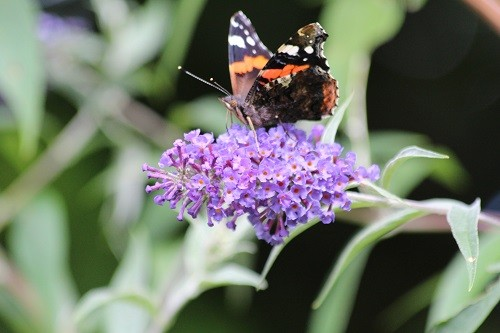 Buddleja are now flowering which brings in the butterflies, this is a Red Admiral.