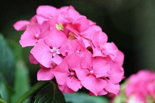 One of the few pink hydrangeas that I have.
