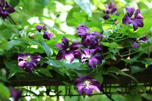 Clematis on the pergola going up to the veggie beds.