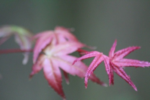 Acer Shindeshojo still putting out colourful new growth.
