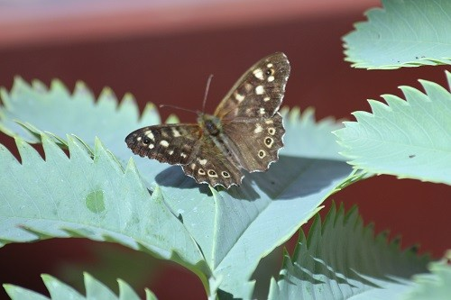 A Speckled Wood butterfly on the Melianthus Major.