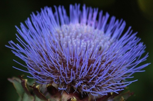 Cardoon by the field has started flowering recently, such a lovely huge flower.