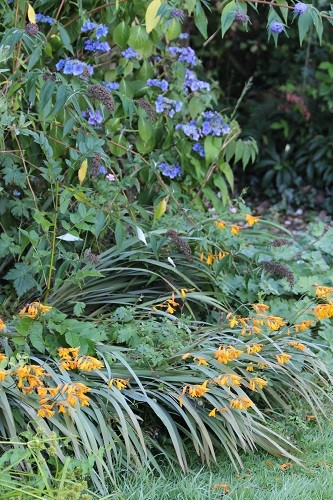 Crocosmia solfaterre and a blue lacecap hydrangea look good together.