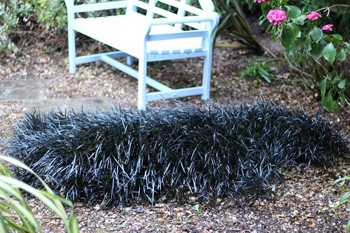 I used to call this mass of Ophiopogon my sheepskin rug, but it has grown so large it is now a bearsking, all from one itlle plant!