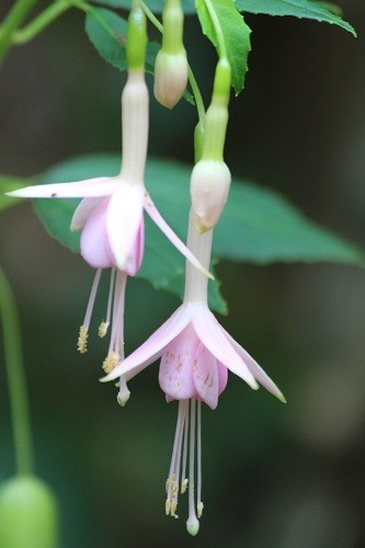 Hardy Fuchsia Whiteknights Blush.