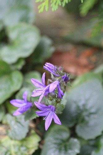 Campanula poscharskyana still flowering. I pulled all the flower stalks out a while ago, but it just doesn't want to give up.