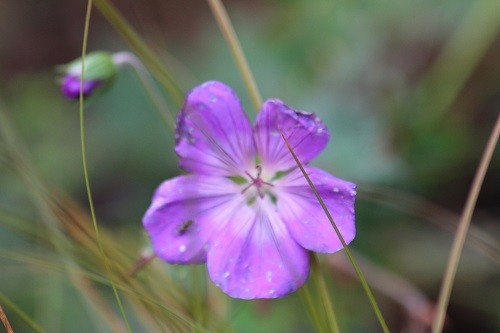 Geranium Rozanne is still strutting her stuff!