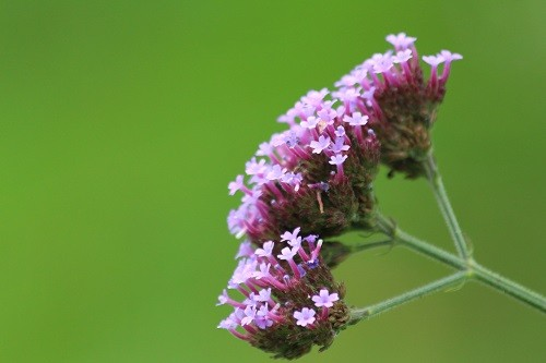 Verbena bonariensis is still waiting for the butterflies to arrive.