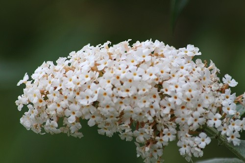 White buddleja is also waiting for the butterflies that we usually have at this time of year.