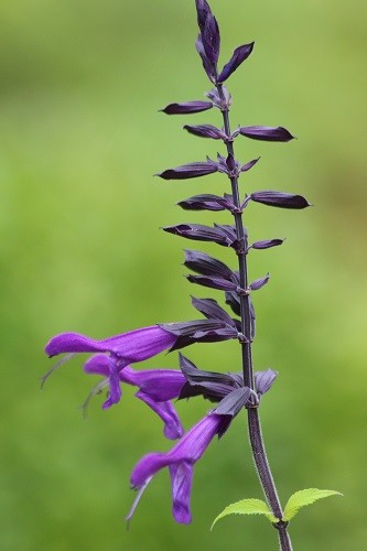 Salvia Amistaad, such a beautiful blue.