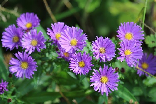 A small Aster in the border by the field.