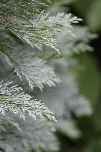 Blue Cedar.