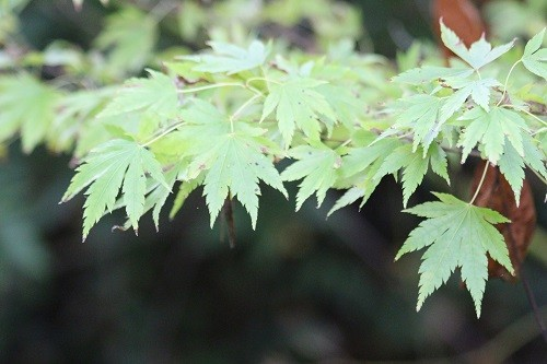Acer Sango Kaku is just beginning to lighten in colour, eventually it will be a buttery yellow.