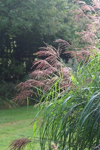 A fountain of leaves on Miscanthus Malepartus.