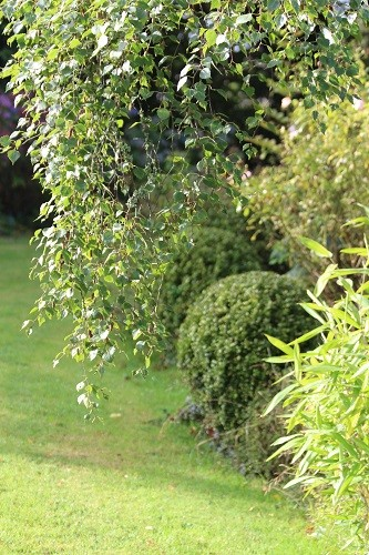 The variegated box balls contrast with everything around it. On the left is the foliage of a silver birch tree and in the right foreground is a golden bamboo, Pleioblastus.
