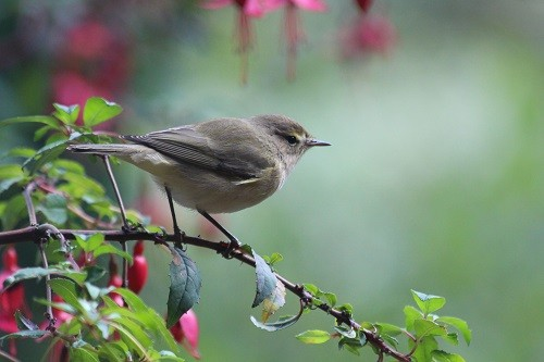 A willow warbler on the fuchsia outside the kitchen window.