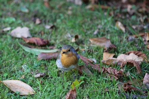 While taking my photos of plants, I'm usually accompanied by our robin.