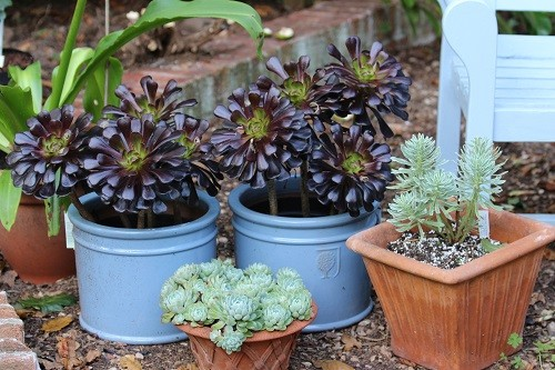 The Aeoniums and Echeveria will come into the conservatory for the winter.
