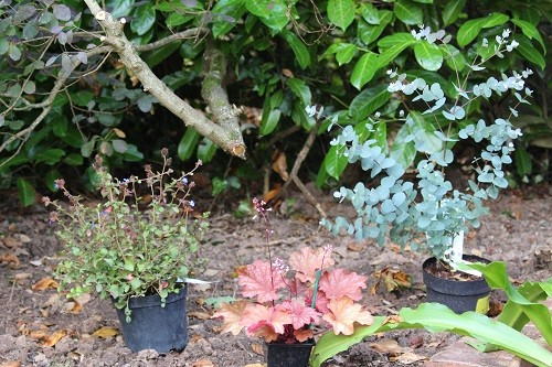 New plants waiting to be planted outside. Eucalyptus gunnii, Heuchera Rio and Calamagrostis.