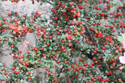 We start with the Cotoneaster up the front wall of the kitchen.