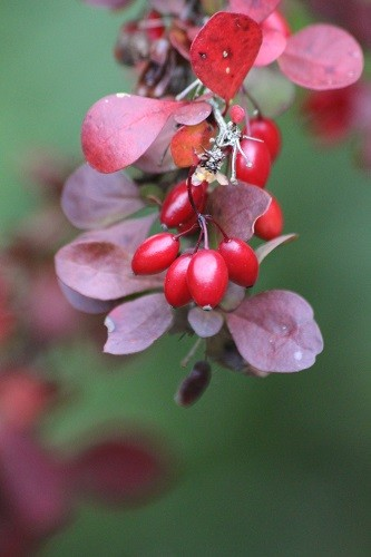 On the front drive is a purple Berberis, covered in berries at the moment.