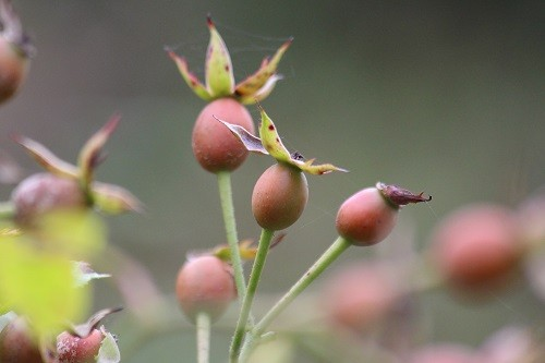 In the rose garden between the kitchen and the garage Rosa Bonica is making masses of rose hips.