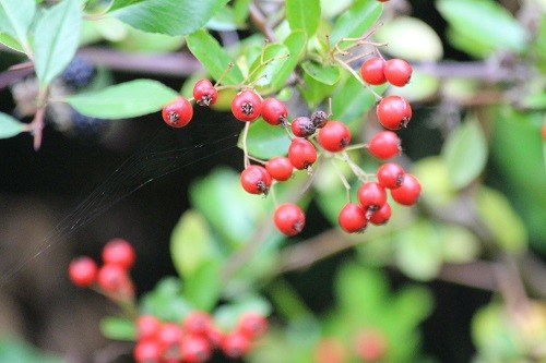 The mixed hedge by the farmer's field is full of lovely juicy berries for the wildlife. This is a Pyracantha with red berries.