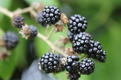 Growing through the above pyracantha is a blackberry, seed dropped by the birds. This one will be allowed to stay, most get pulled out, but it is nice to eat your enemies in a nice apple and blackberry crumble!