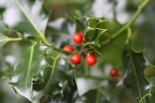 A bush of the ordinary wild holly is in the back border by the woodland.